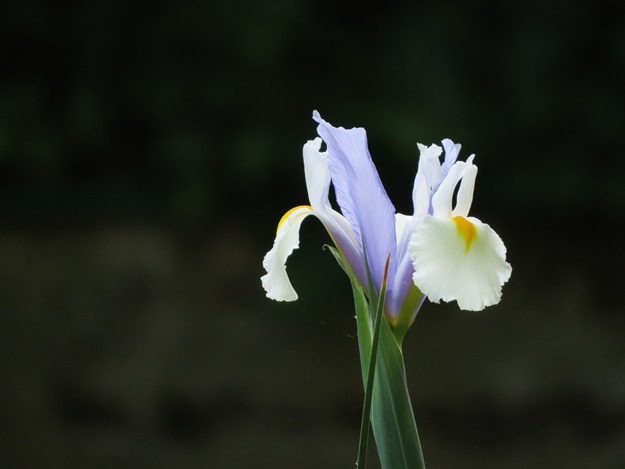 Iris - nst 2015
